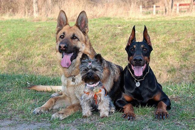 castración perros