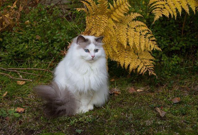 cuidados para gatos de pelo largo