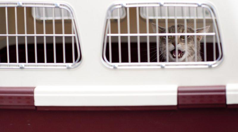gato-entre-solo-en-transportin