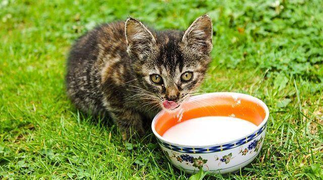 dar leche gato