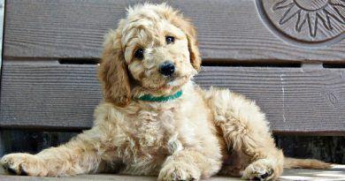 vómitos perros principales causas
