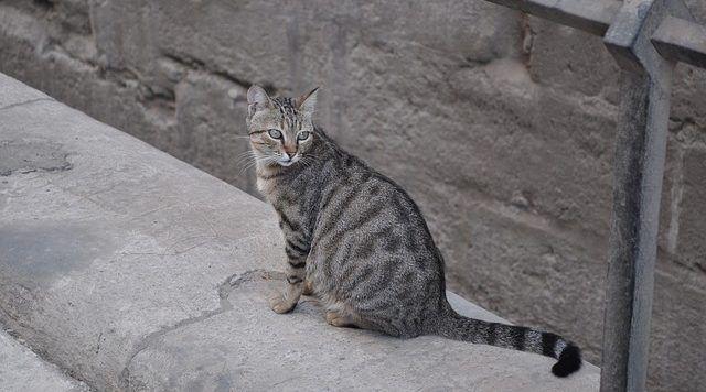 gestación gatas