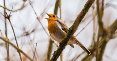 cantan aves primavera