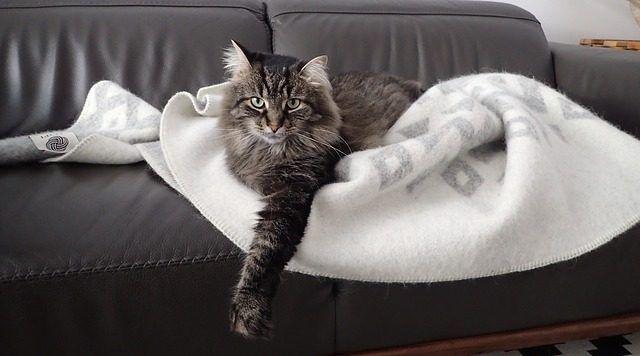 consejos cepillar gato