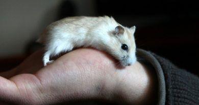 domesticar hamster