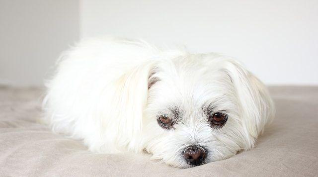 otitis perros sintomas prevención