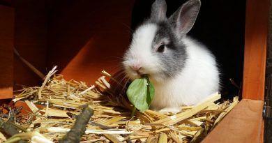Estasis gastrointestinal conejo