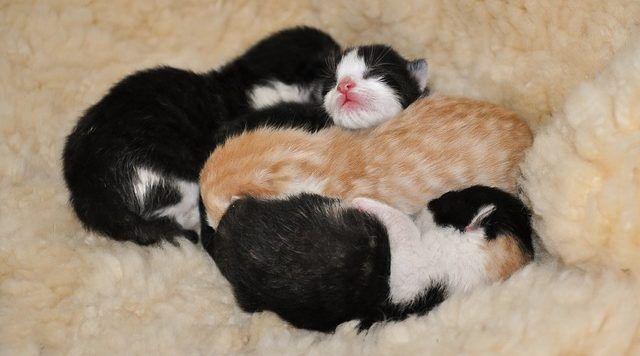 gatito lactante alimentar