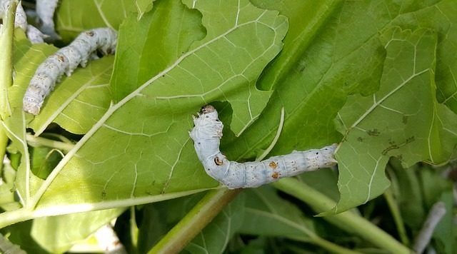 hojas de morera