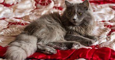 vomitos en gatos
