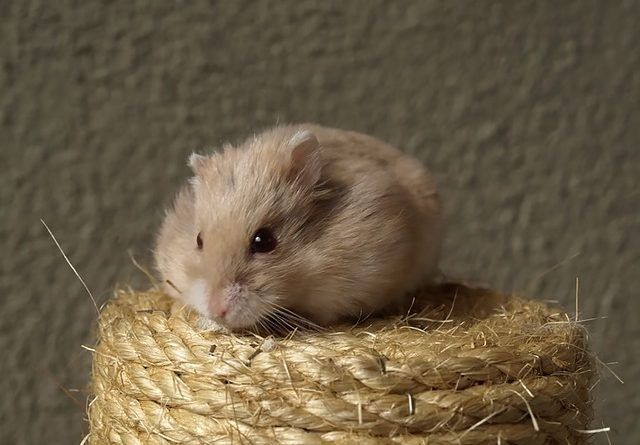 razas de hamster