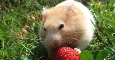 alimentacion de los hamster