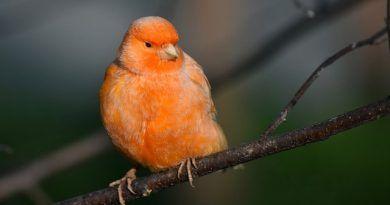 los acaros en las aves