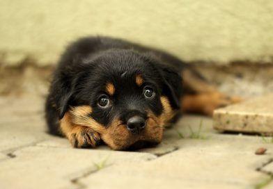 parvovirus canino