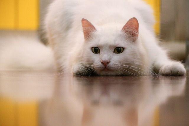 sobrepeso en los gatos