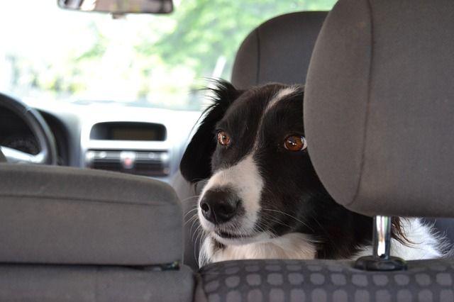 acostumbrar a tu perro a ir en coche