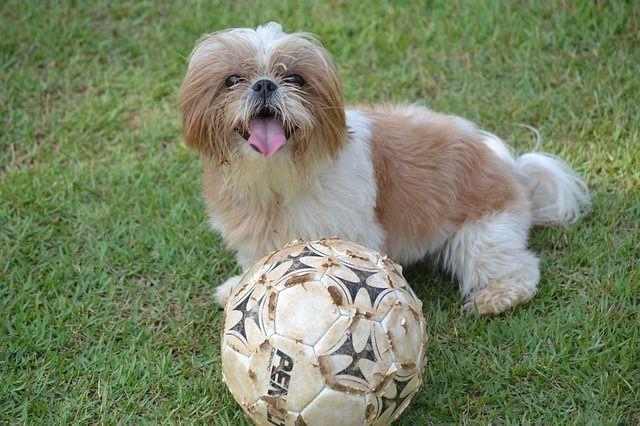 perros braquicéfalos