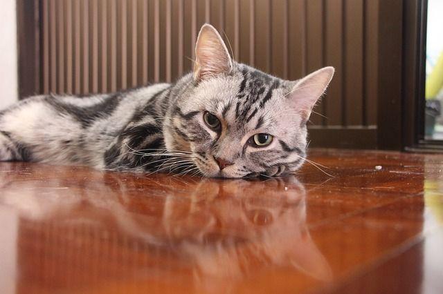 la toxoplasmosis en gatos