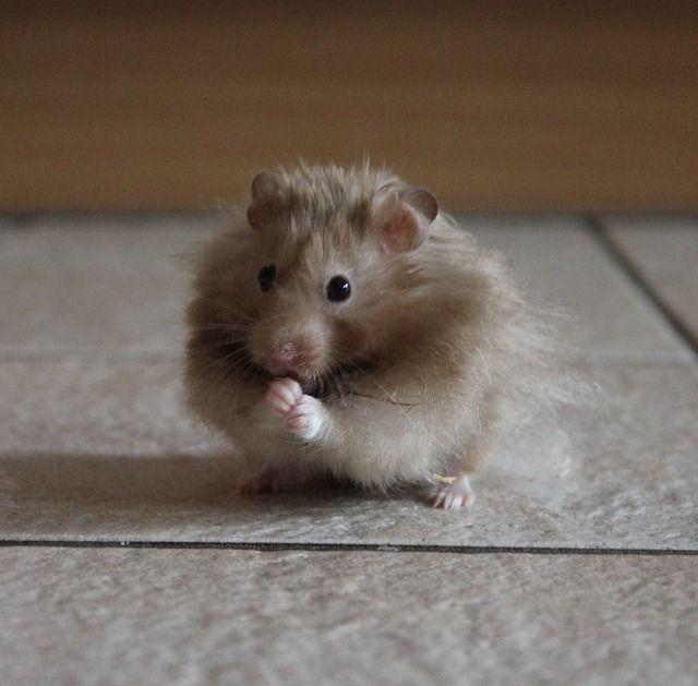 enfermedades del hamster