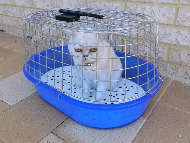 gato al veterinario