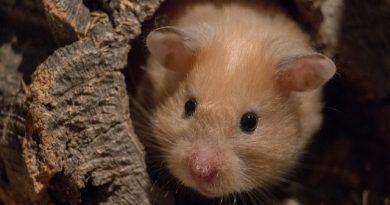 hibernacion del hamster