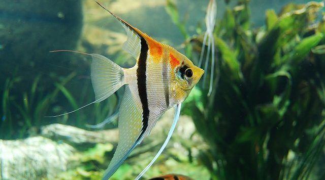 la aclimatacion de los peces