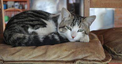 problemas de corazon en gatos