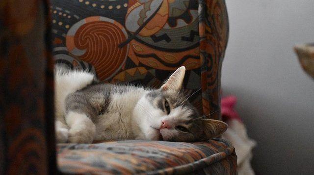 asma en los gatos
