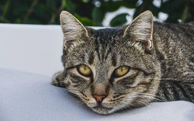 gato no come