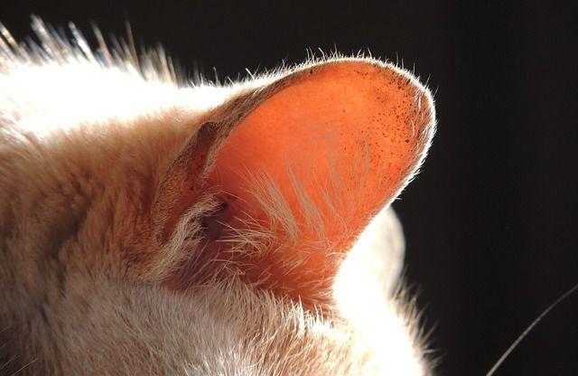 acaros en gatos