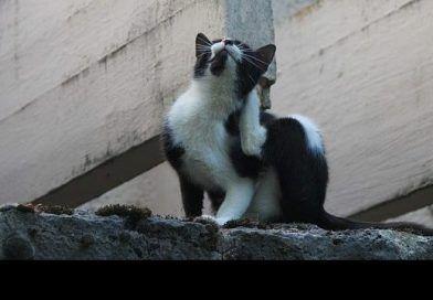 Ácaros en gatos: Síntomas, tratamiento y prevención